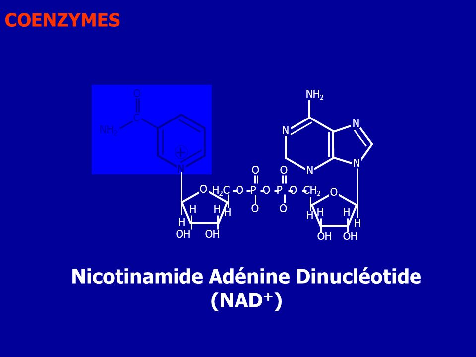 Nicotinamide Adénine Dinucléotide (NAD+)