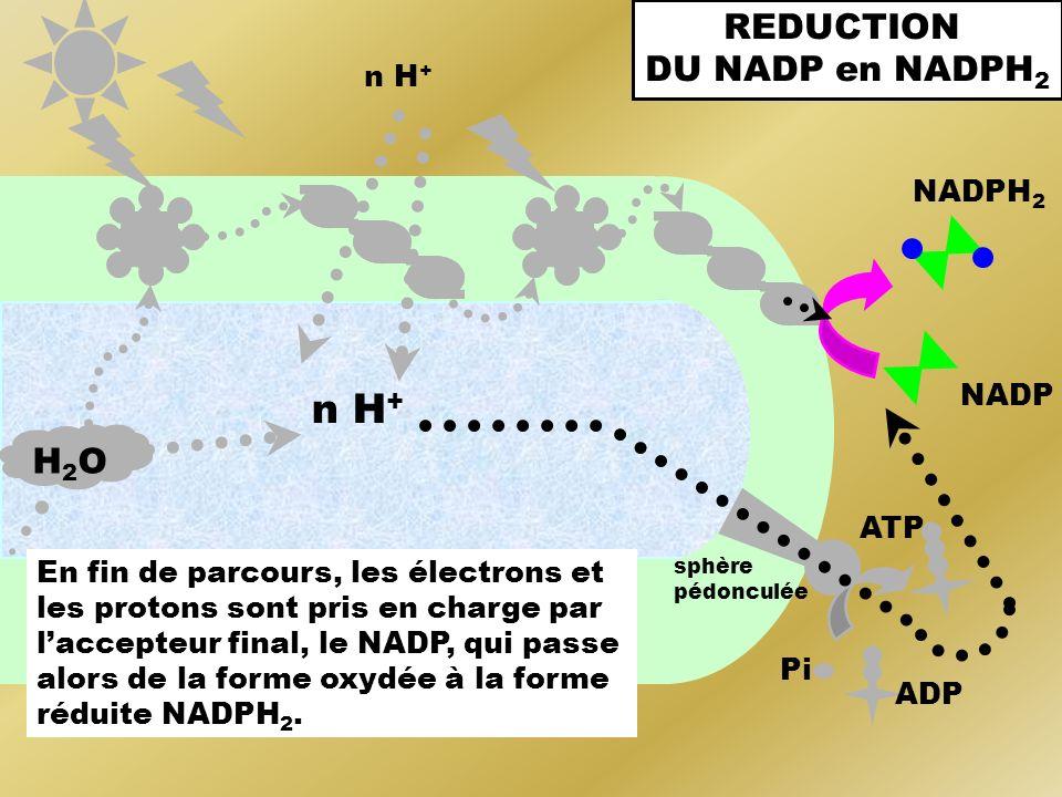 n H+ REDUCTION DU NADP en NADPH2 H2O n H+ NADPH2 NADP ATP