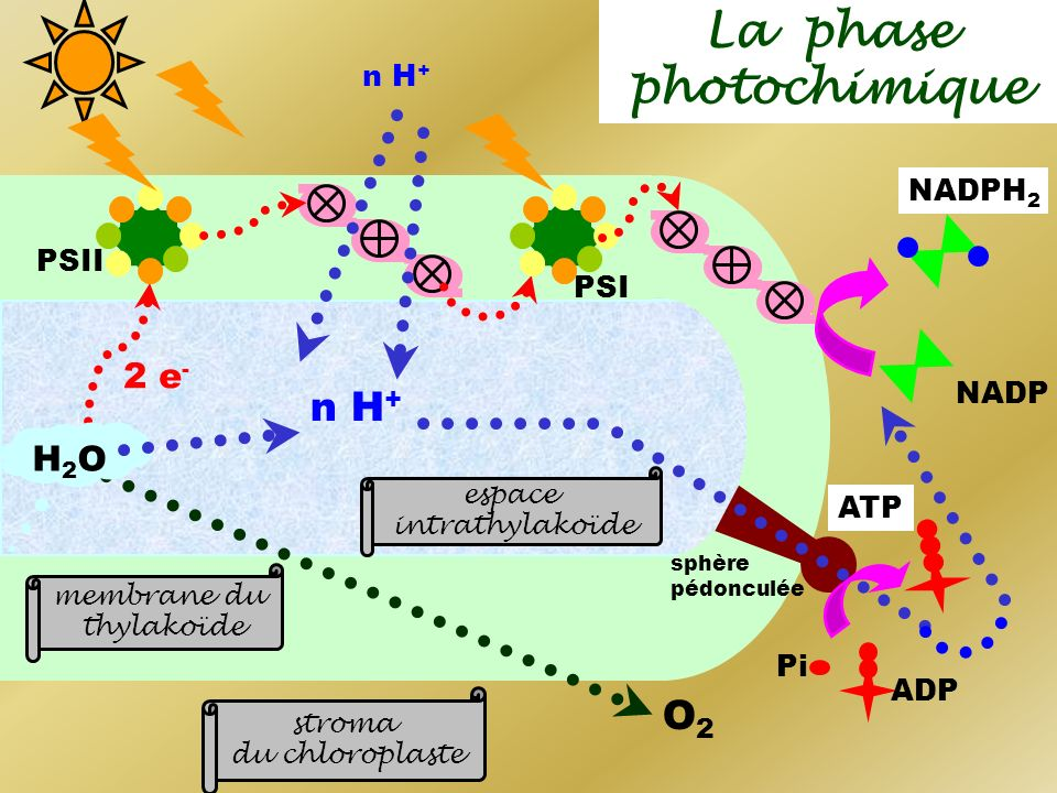 La phase photochimique