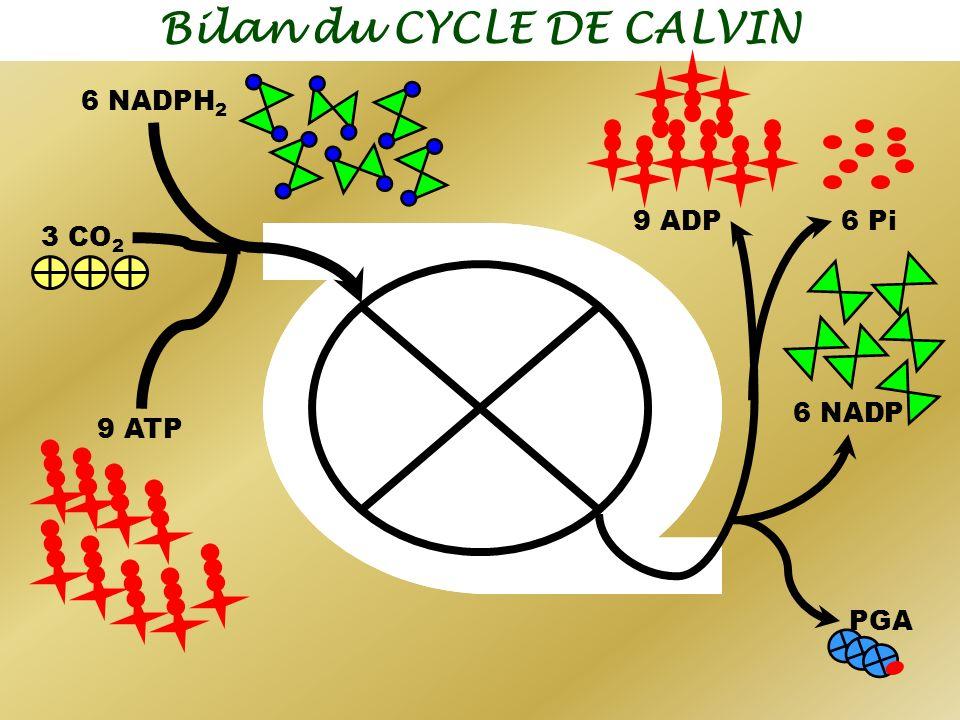 Bilan du CYCLE DE CALVIN