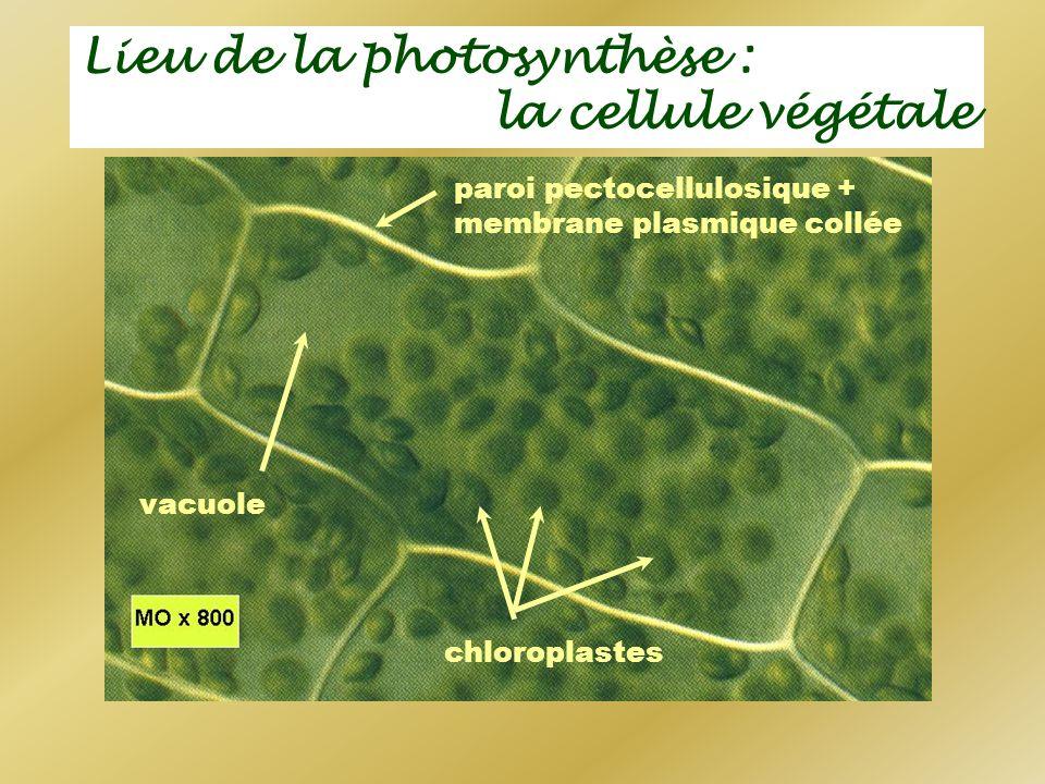 Lieu de la photosynthèse : la cellule végétale