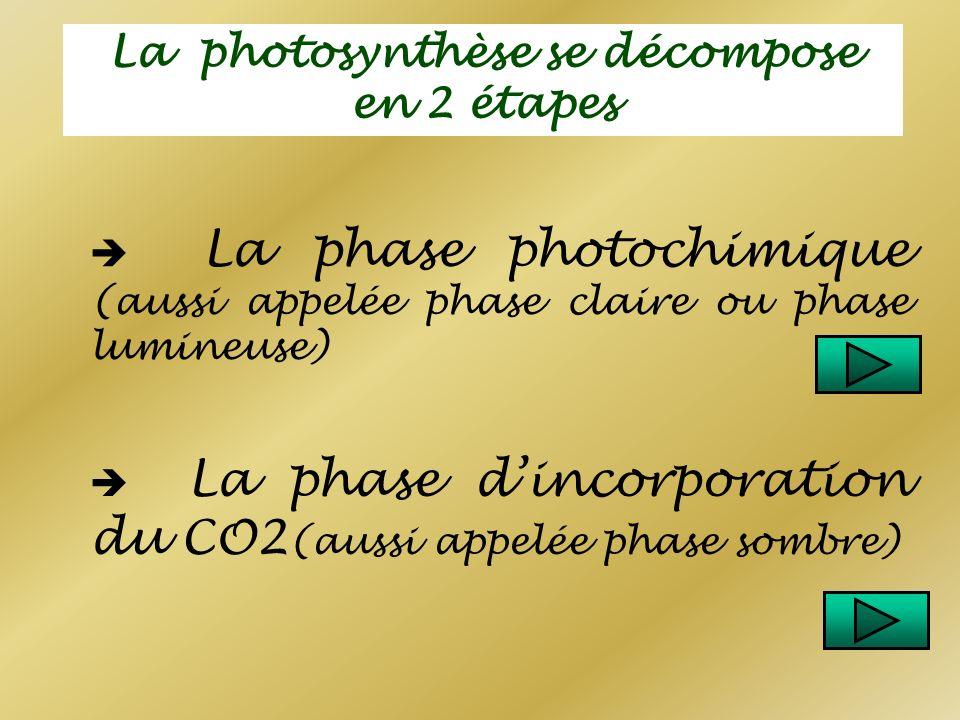 La photosynthèse se décompose en 2 étapes