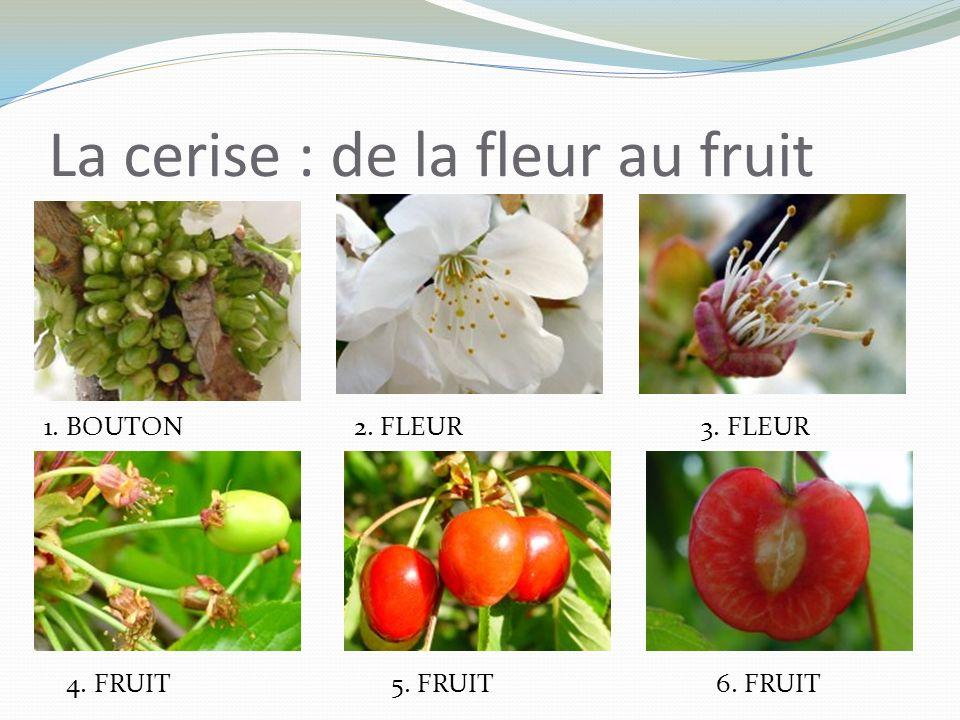 La cerise : de la fleur au fruit
