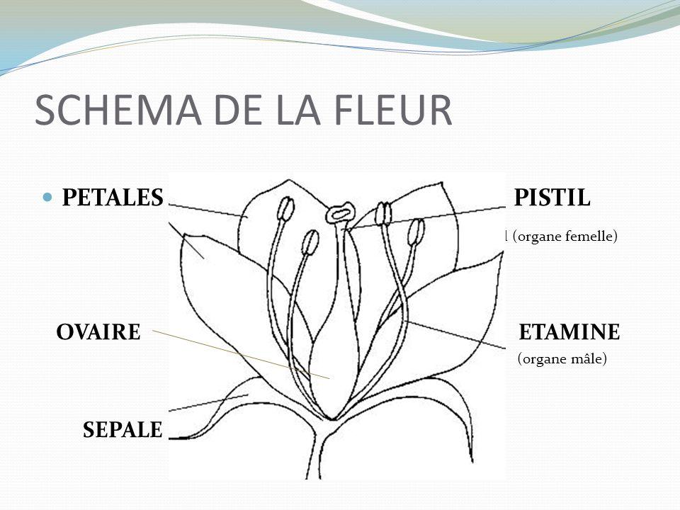 SCHEMA DE LA FLEUR PETALES PISTIL (vkl (organe femelle) OVAIRE ETAMINE
