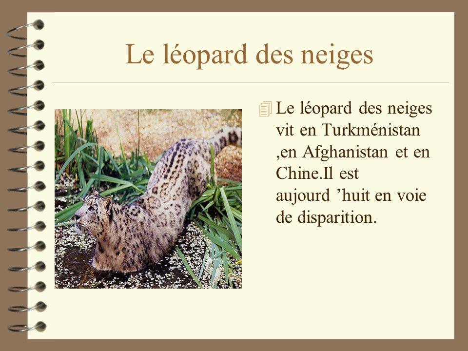 Le léopard des neiges Le léopard des neiges vit en Turkménistan ,en Afghanistan et en Chine.Il est aujourd 'huit en voie de disparition.