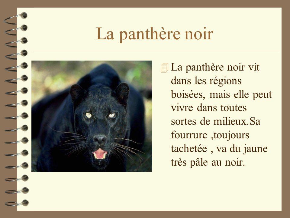 La panthère noir