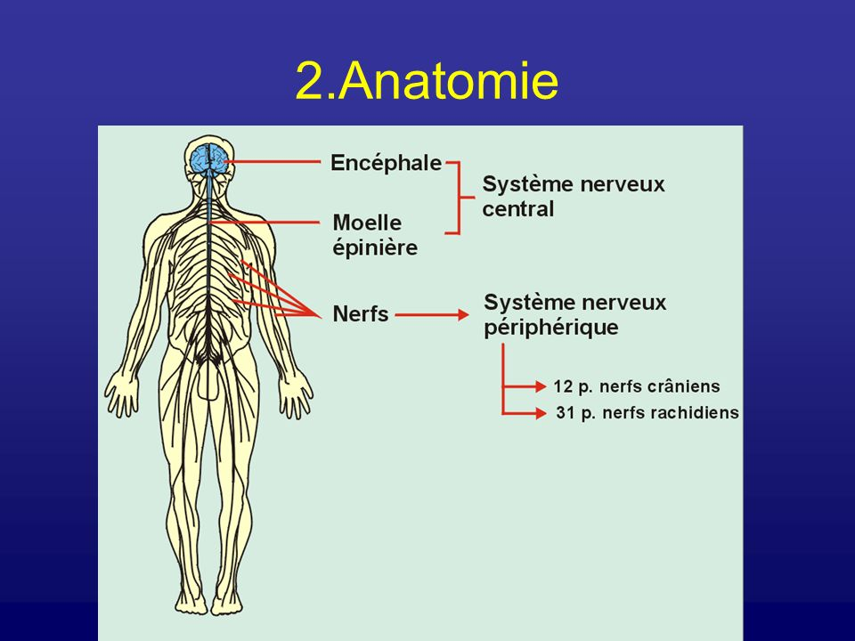 2.Anatomie