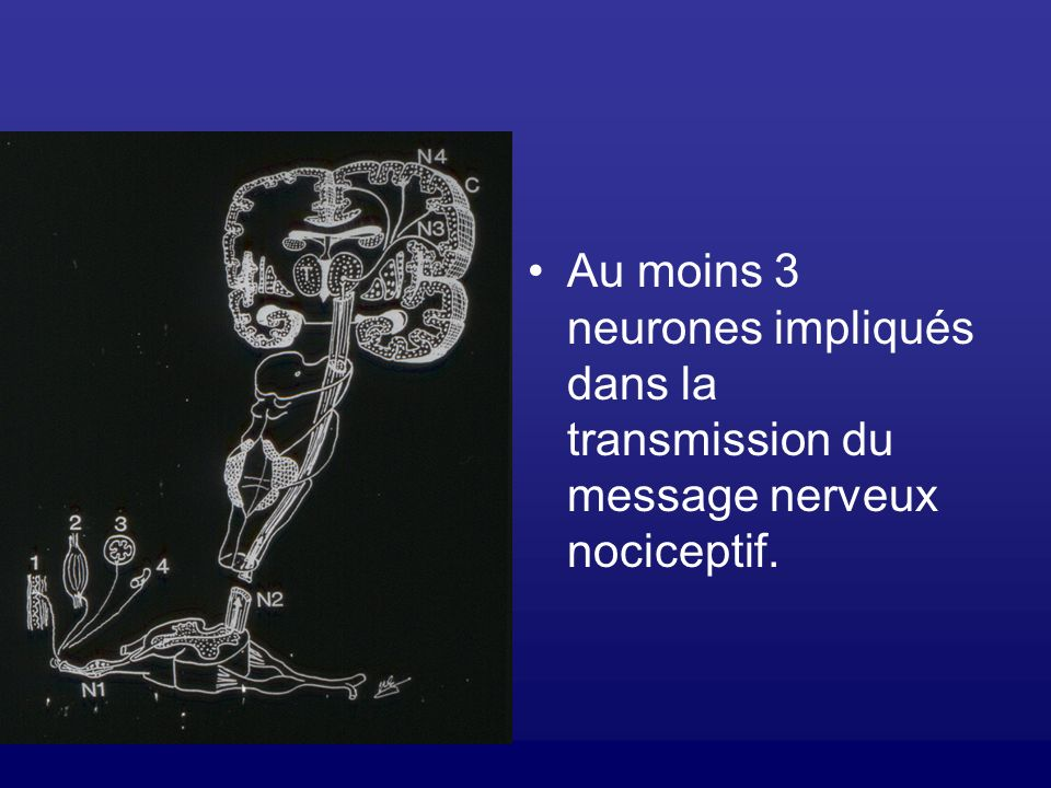Au moins 3 neurones impliqués dans la transmission du message nerveux nociceptif.