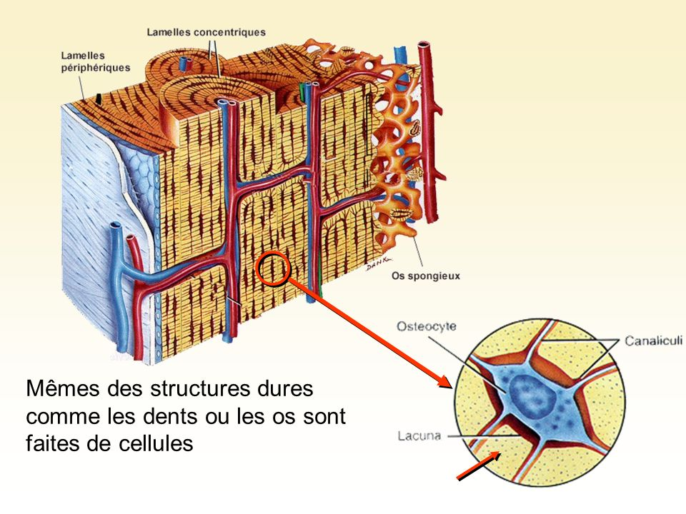 Mêmes des structures dures comme les dents ou les os sont faites de cellules