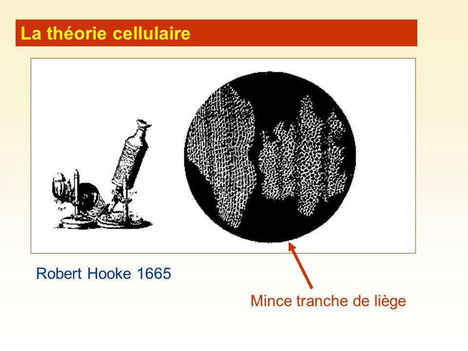 La théorie cellulaire Mince tranche de liège Robert Hooke 1665