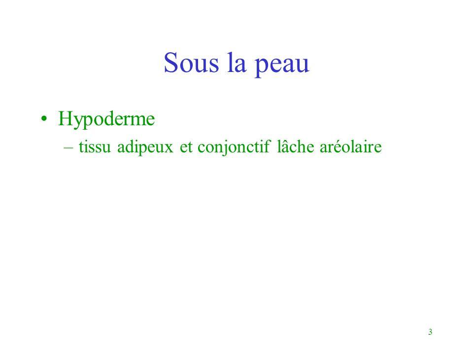 Sous la peau Hypoderme tissu adipeux et conjonctif lâche aréolaire