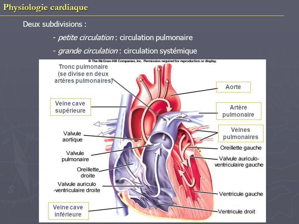 Tronc pulmonaire (se divise en deux artères pulmonaires)