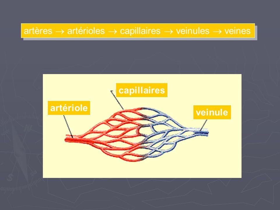 artères  artérioles  capillaires  veinules  veines