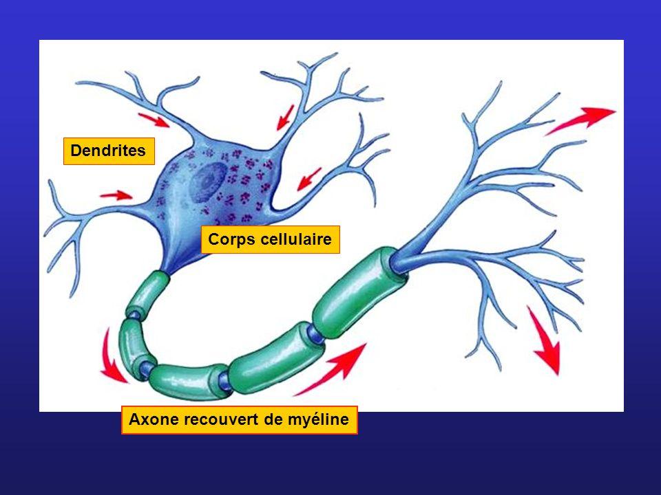 Dendrites Corps cellulaire Axone recouvert de myéline