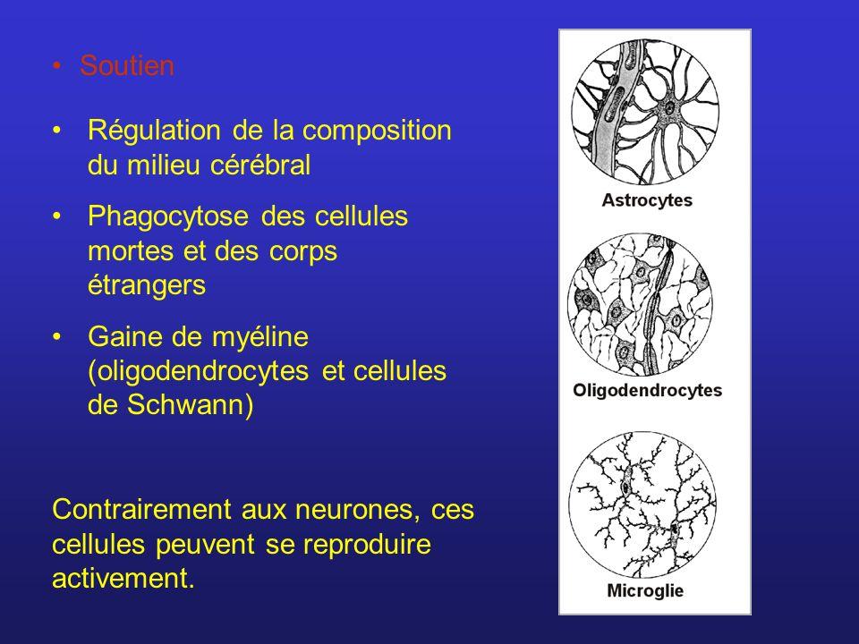 Soutien Régulation de la composition du milieu cérébral. Phagocytose des cellules mortes et des corps étrangers.