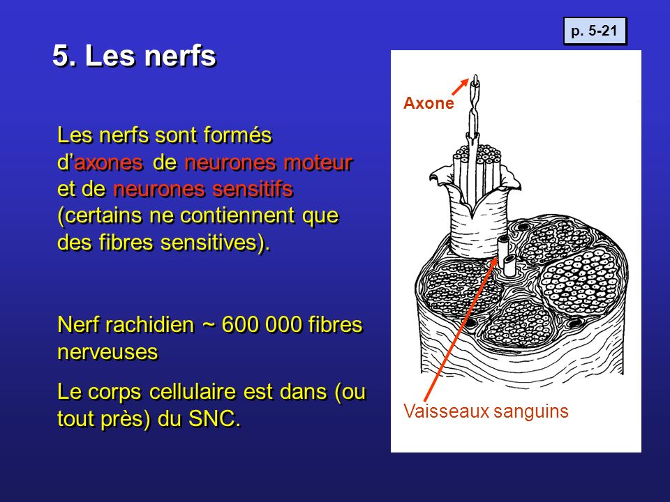 p. 5-21 5. Les nerfs. Axone.