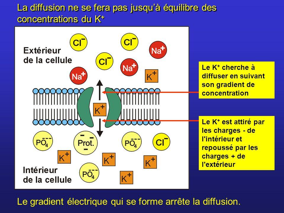 La diffusion ne se fera pas jusqu'à équilibre des concentrations du K+