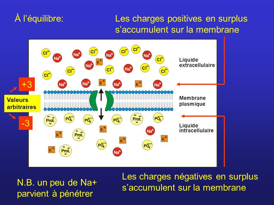 Les charges positives en surplus s'accumulent sur la membrane