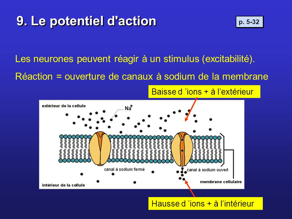 9. Le potentiel d actionp. 5-32. Les neurones peuvent réagir à un stimulus (excitabilité). Réaction = ouverture de canaux à sodium de la membrane.