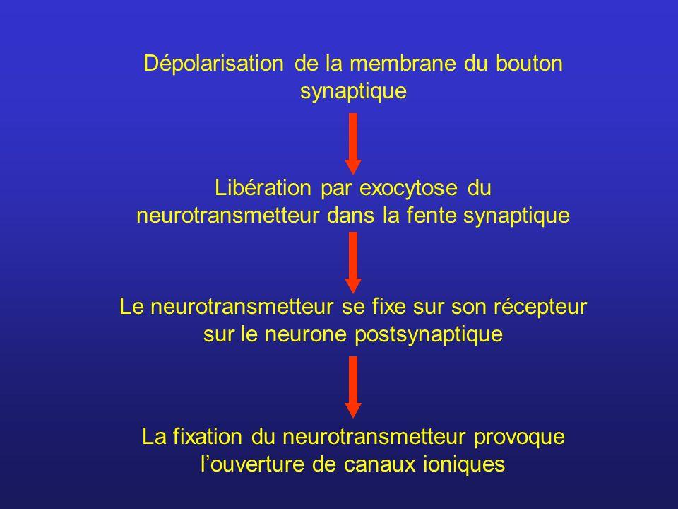 Dépolarisation de la membrane du bouton synaptique