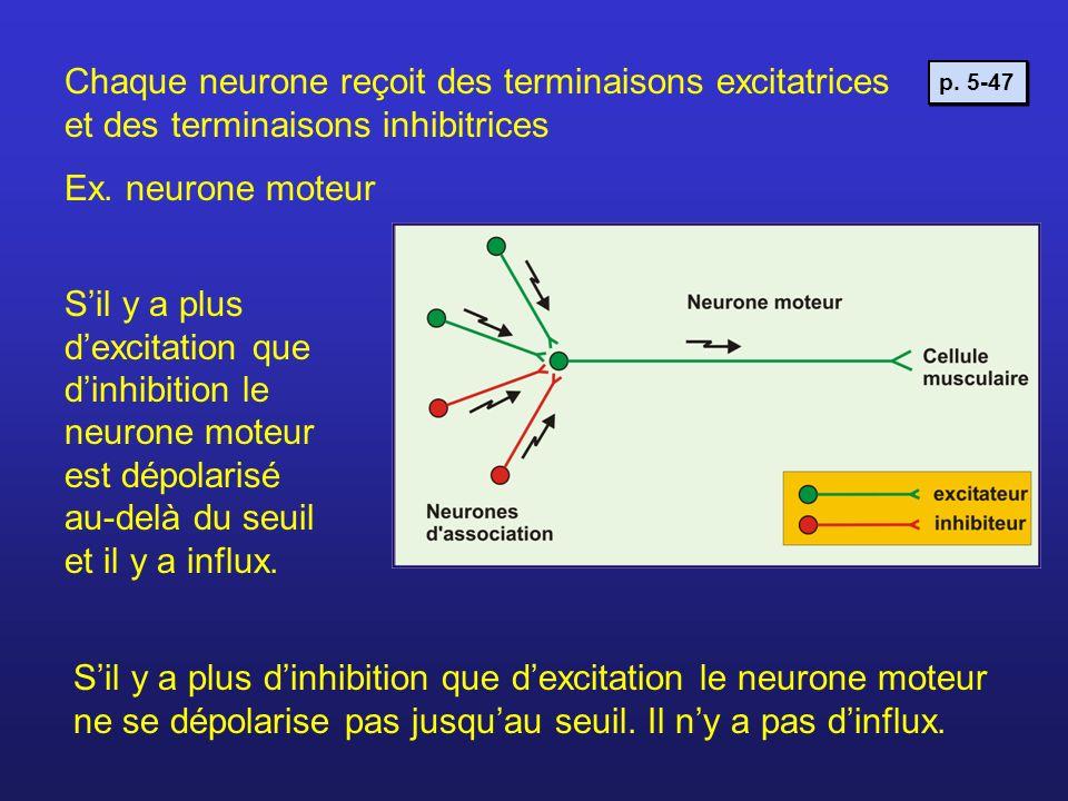 Chaque neurone reçoit des terminaisons excitatrices et des terminaisons inhibitrices