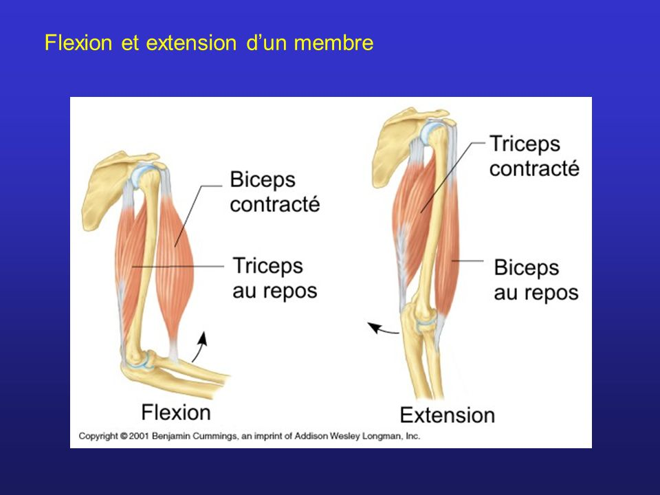 Flexion et extension d'un membre