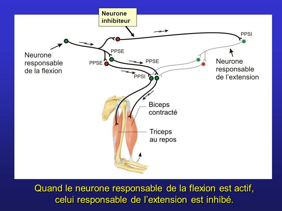 Neurone inhibiteurQuand le neurone responsable de la flexion est actif, celui responsable de l'extension est inhibé.