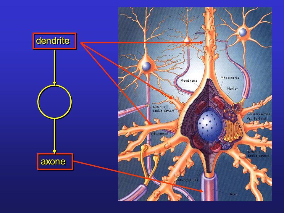 dendrite axone