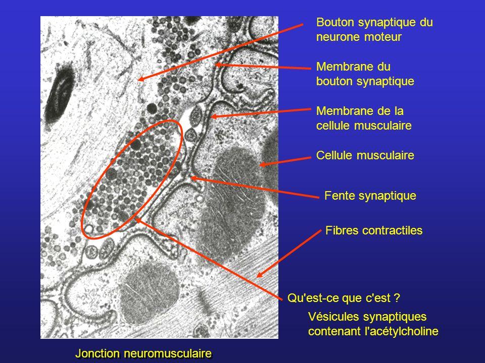 Bouton synaptique du neurone moteur