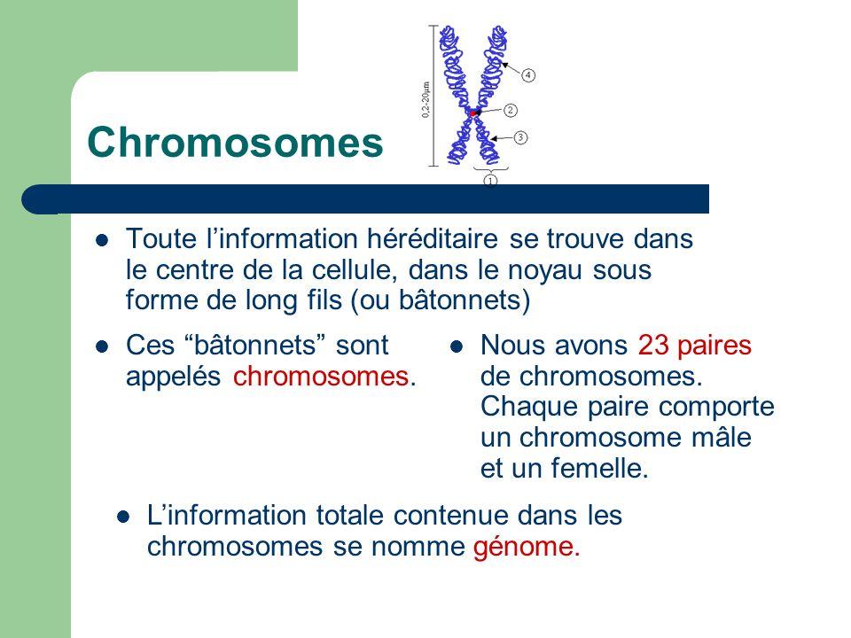 ChromosomesToute l'information héréditaire se trouve dans le centre de la cellule, dans le noyau sous forme de long fils (ou bâtonnets)
