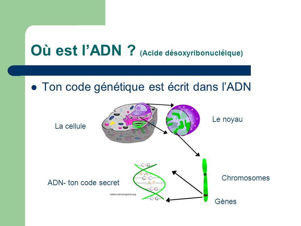 Où est l'ADN (Acide désoxyribonucléique)