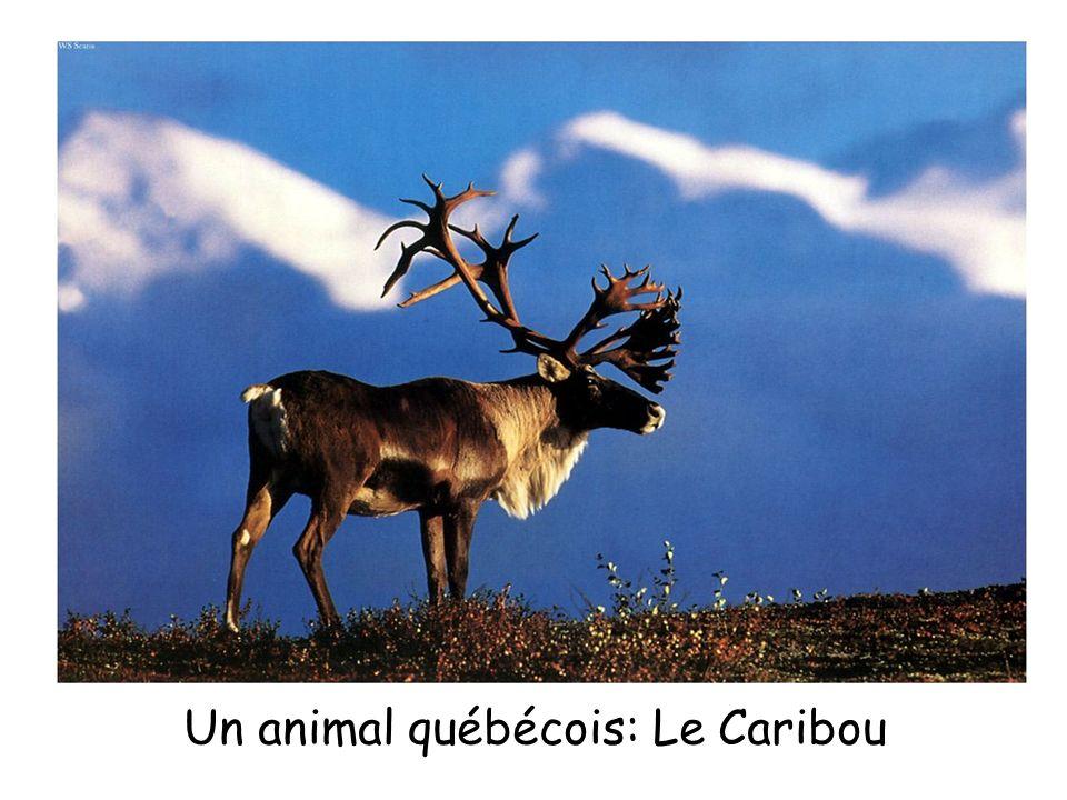 Un animal québécois: Le Caribou