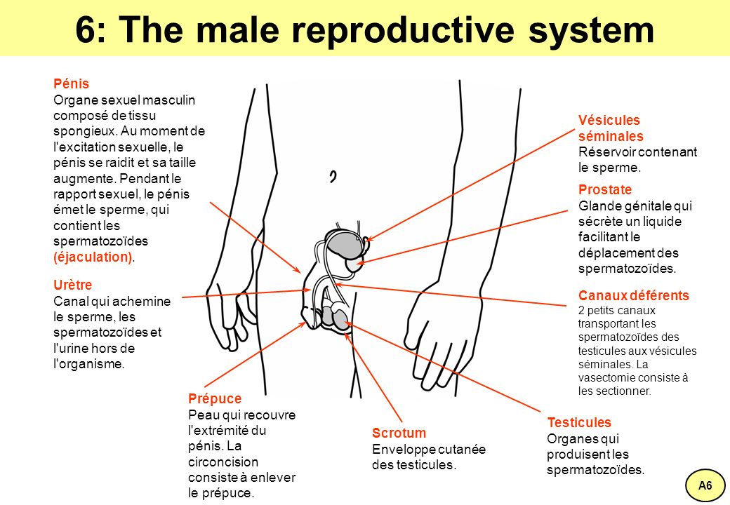 6: The male reproductive system