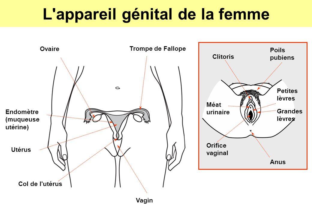 L appareil génital de la femme