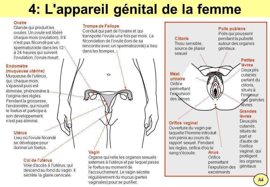 4: L appareil génital de la femme