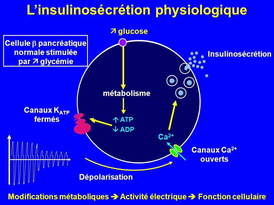L'insulinosécrétion physiologique Cellule  pancréatique