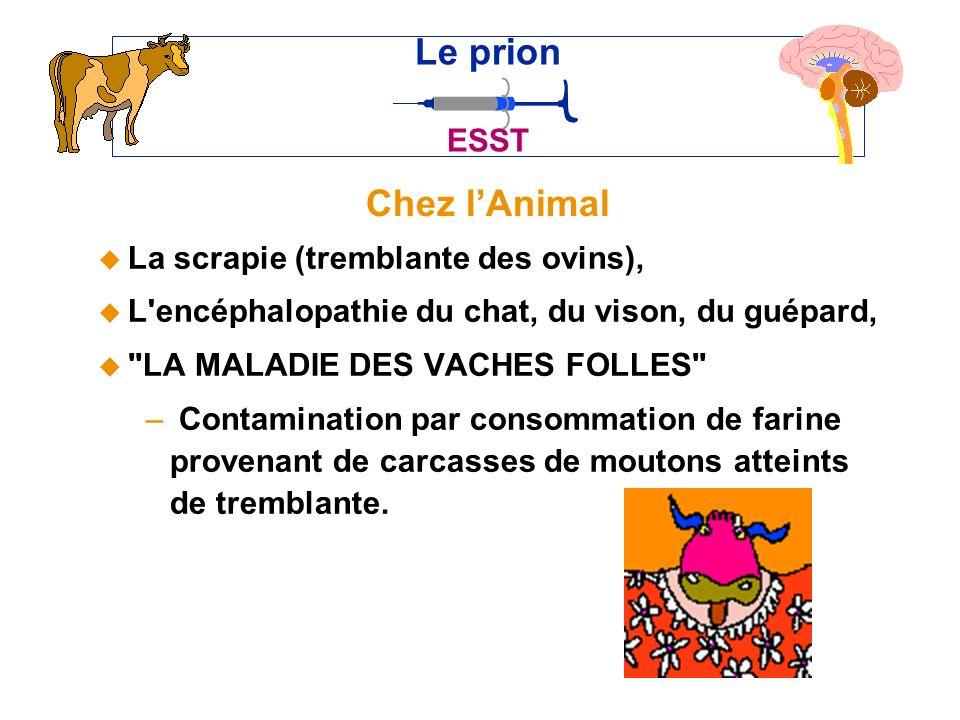 Le prion Chez l'Animal ESST La scrapie (tremblante des ovins),