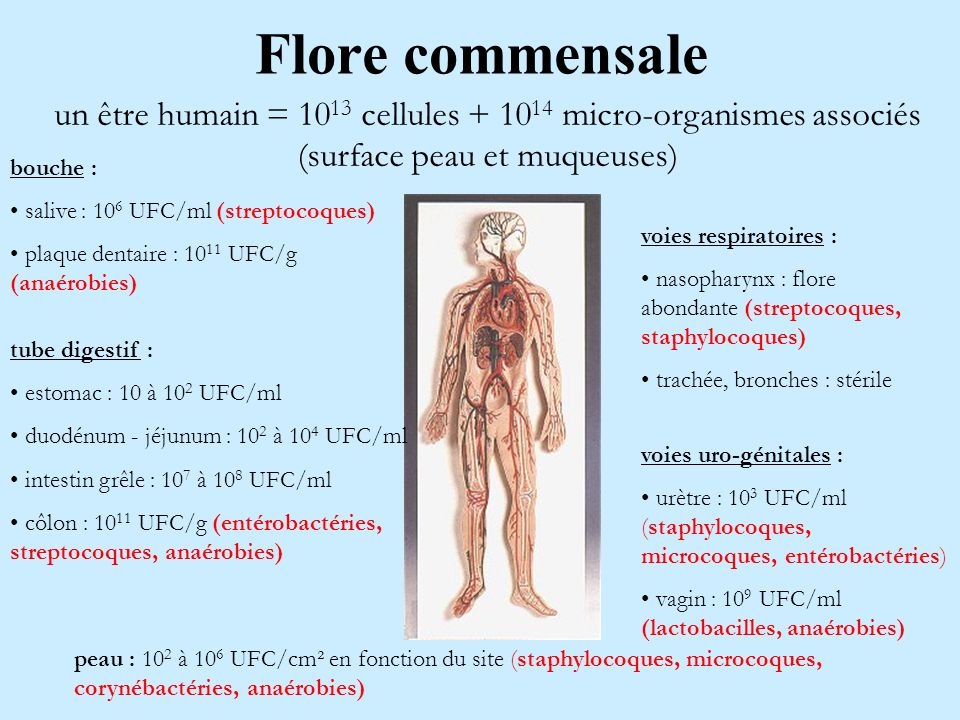 Flore commensale un être humain = 1013 cellules + 1014 micro-organismes associés (surface peau et muqueuses)