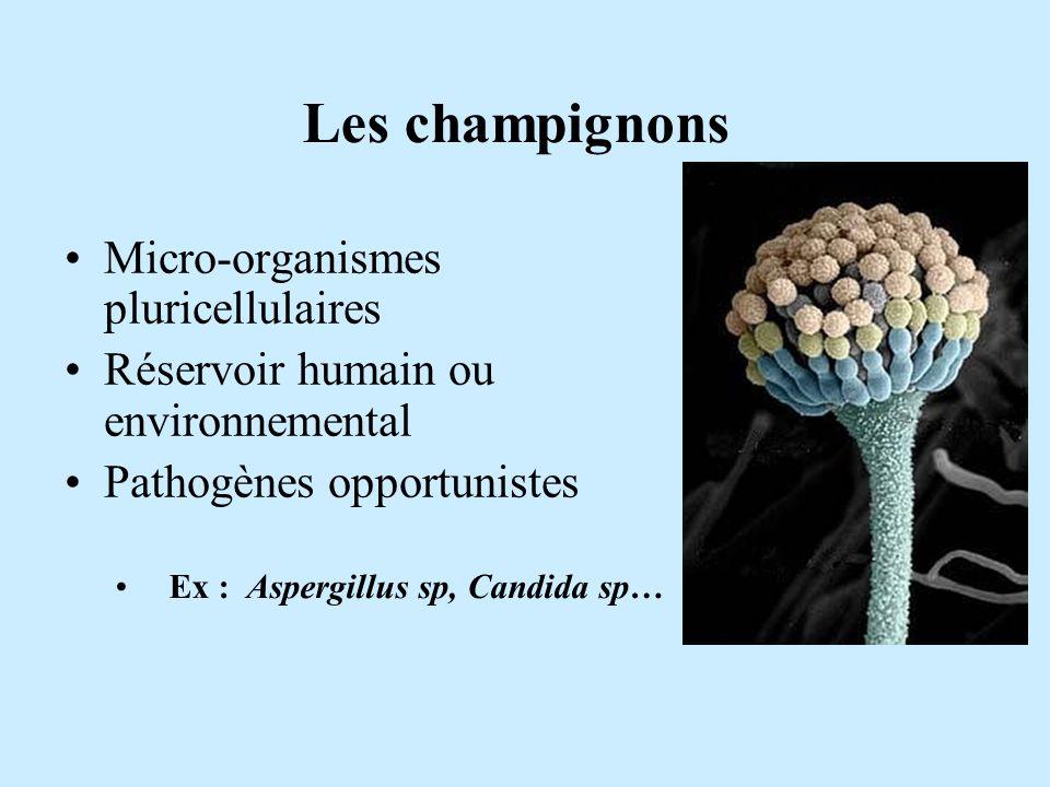 Ex : Aspergillus sp, Candida sp…