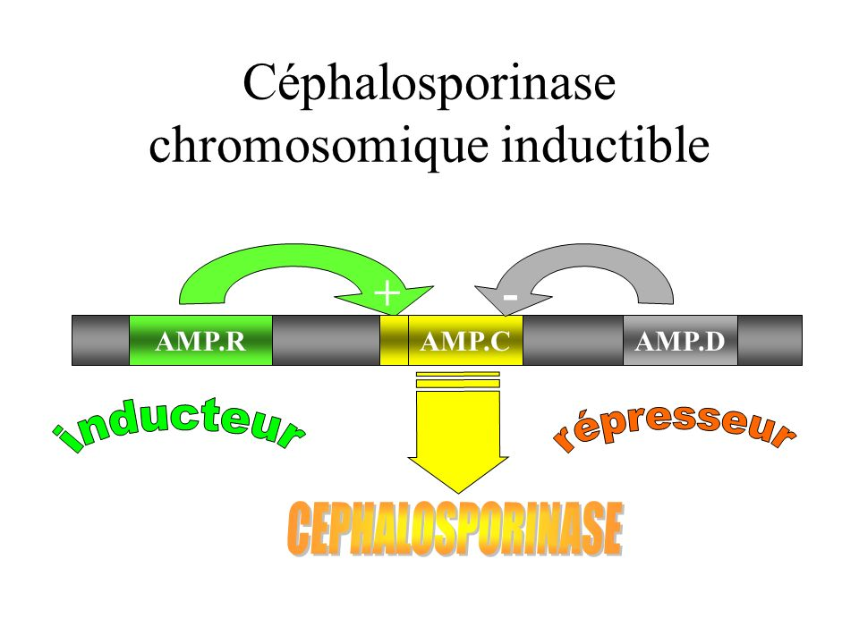 Céphalosporinase chromosomique inductible