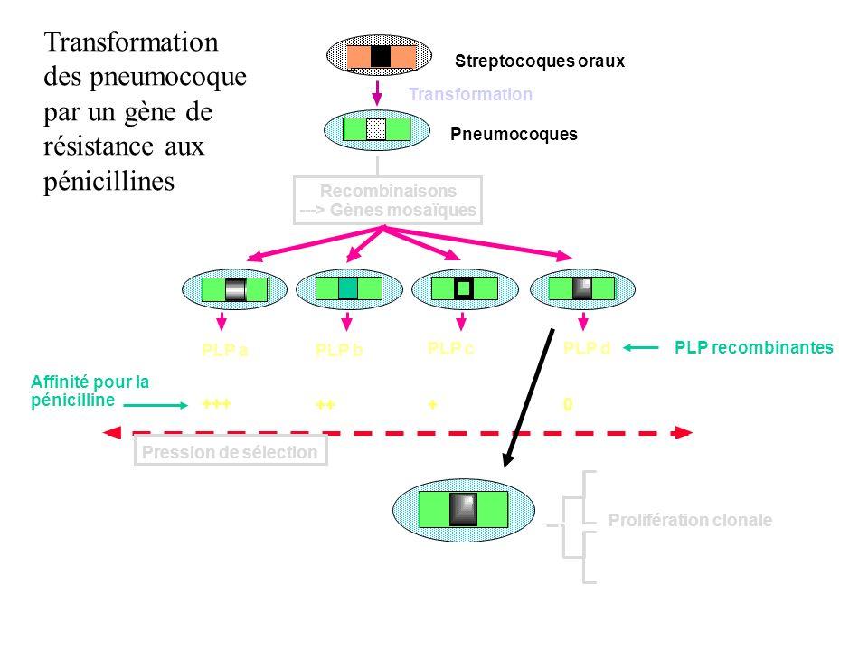 Transformation des pneumocoque par un gène de résistance aux pénicillines