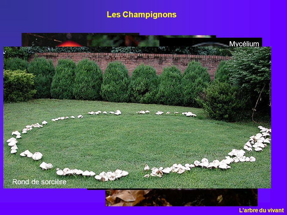 Les Champignons Mycélium Rond de sorcière L'arbre du vivant