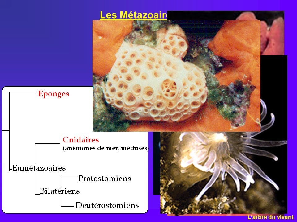 Les Métazoaires L'arbre du vivant