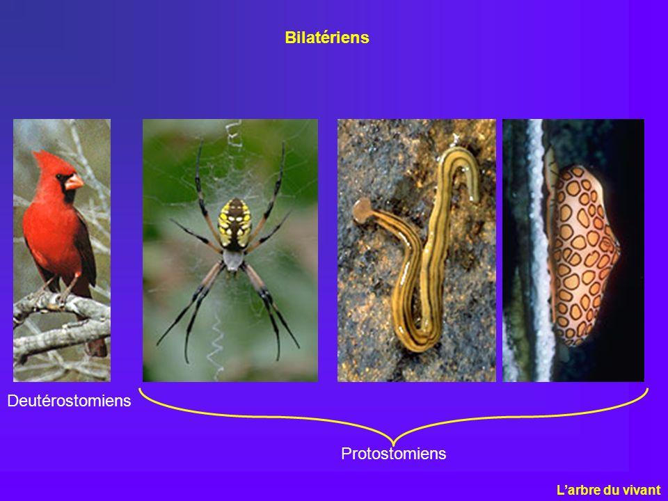 Bilatériens Deutérostomiens Protostomiens L'arbre du vivant