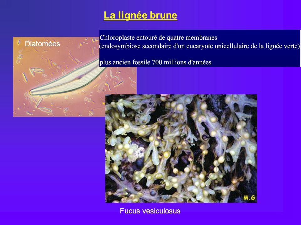 La lignée brune Diatomées Fucus vesiculosus