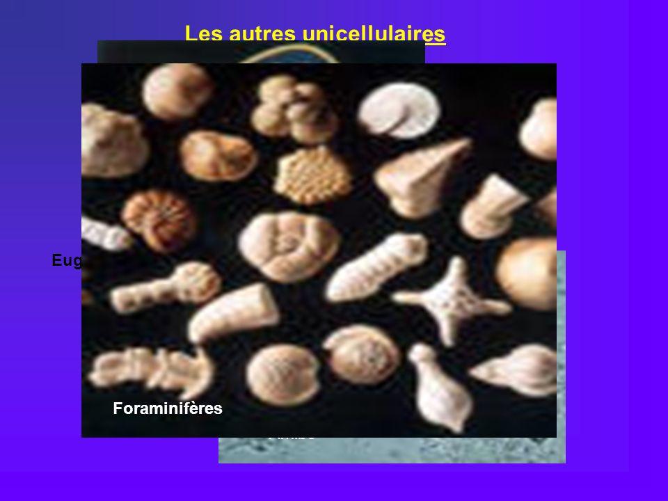 Les autres unicellulaires