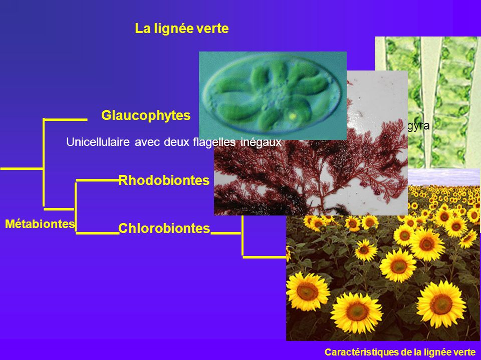 La lignée verte Glaucophytes Rhodobiontes Algues vertes Chlorobiontes