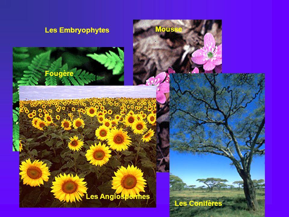 Mousse Hepatica Les Embryophytes Fougère Les Conifères Les Angiospermes