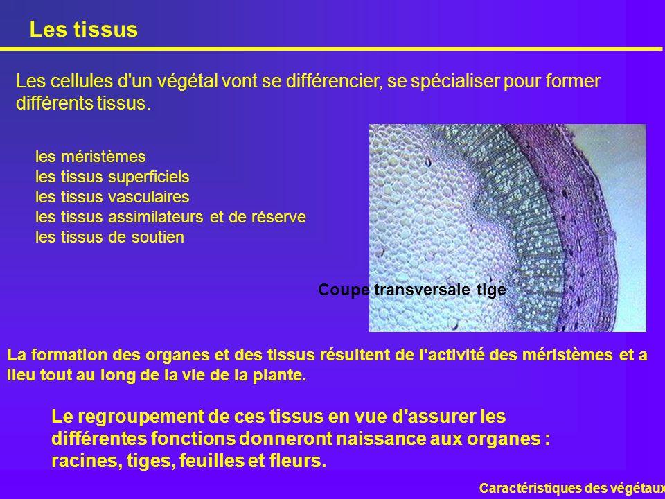 Les tissus Les cellules d un végétal vont se différencier, se spécialiser pour former différents tissus.