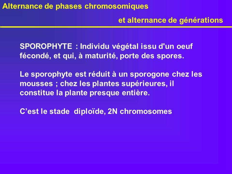 Alternance de phases chromosomiques